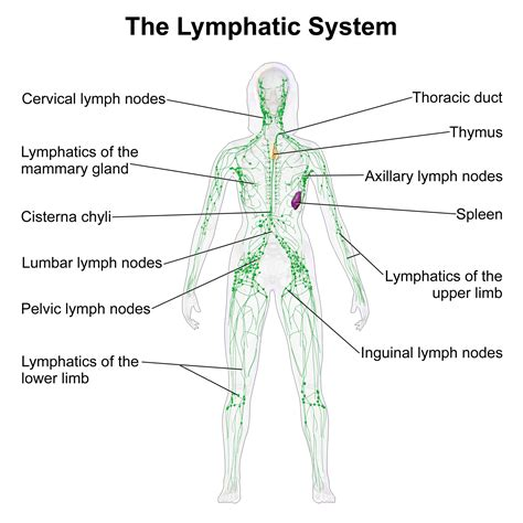 cellulite lymph system heat picture 3