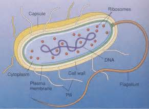 Bacterial cell image picture 1