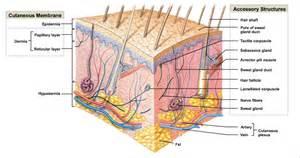 mechanoreceptors in skin picture 11
