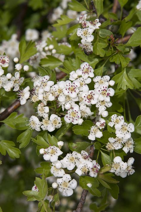hawthorn picture 1