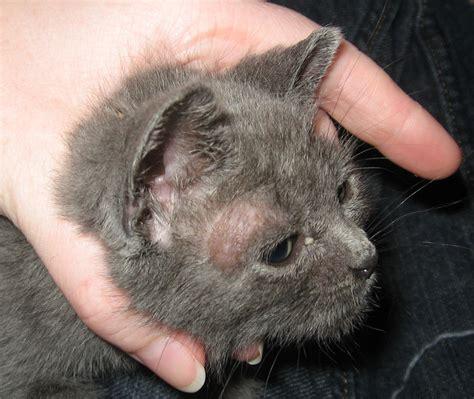 feline skin lesions picture 2