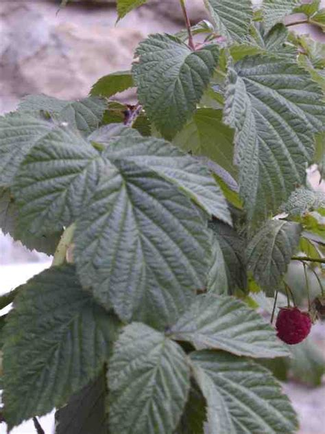 does red raspberry leaf tea induce labor picture 5