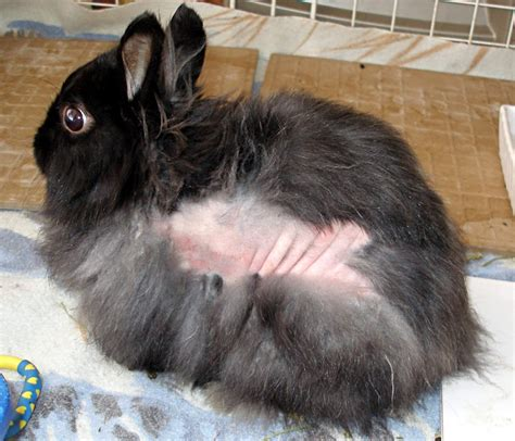 domestc rabbit skin diseases picture 2