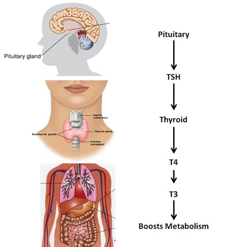 circulation and thyroid picture 7