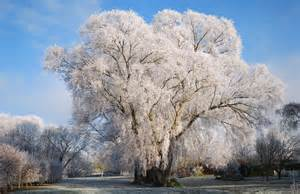 similarities between willow and ginkgo trees picture 13
