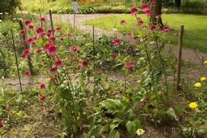 echinacea 'pica bella' picture 6
