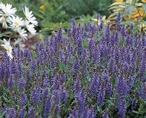 salvia divinorum plants for sale in orlando fl picture 6
