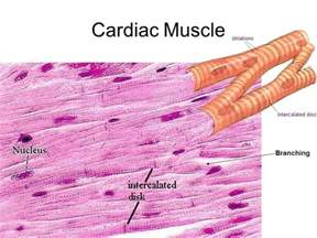 cardiac muscle is found in the wall of picture 1