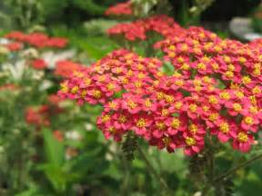 red yarrow picture 1