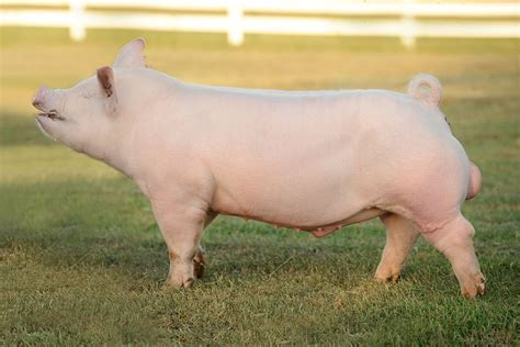 putting weight on show pigs picture 5