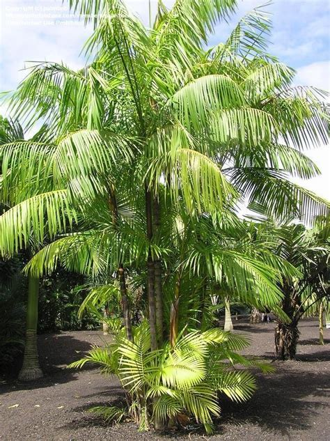 acai palm florida picture 1