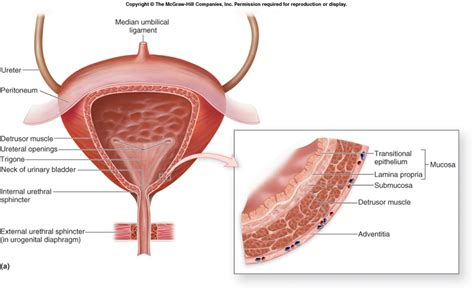 where is urinary bladder muscle treatment and urethral picture 3