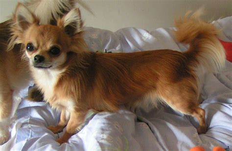chihuahua h picture 13