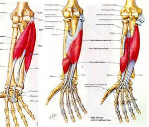forearm muscle picture 9