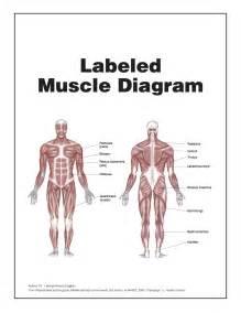 muscle tendon diagram picture 1