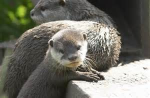 diet baby river otters picture 21