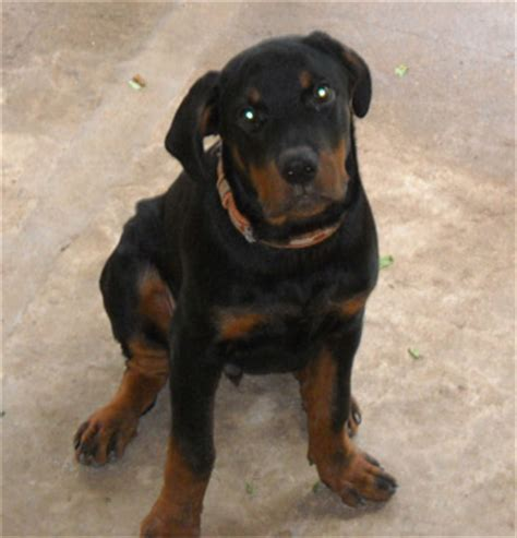 rottweiler aging picture 10