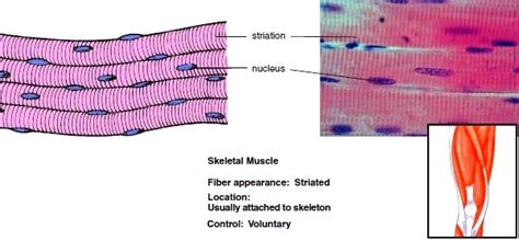 are smooth muscle multinucleated picture 5