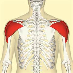 deltoid muscle picture 1
