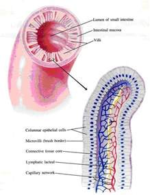 intestinal mucosal dysfunction picture 15