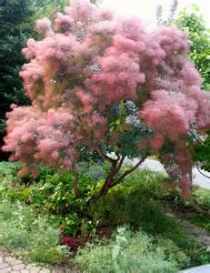 smoke tree, pink mist for sale picture 9
