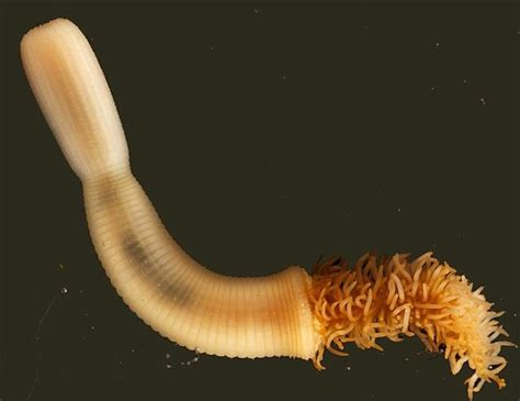 formicophilia, worm in penis picture 12