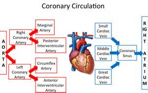 coronary blood flow picture 7