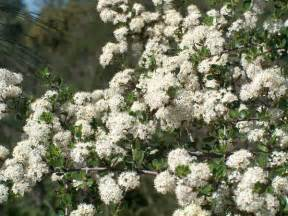 what native american herb lowers blood pressure picture 9
