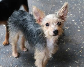 wire hair terrier rescue picture 11