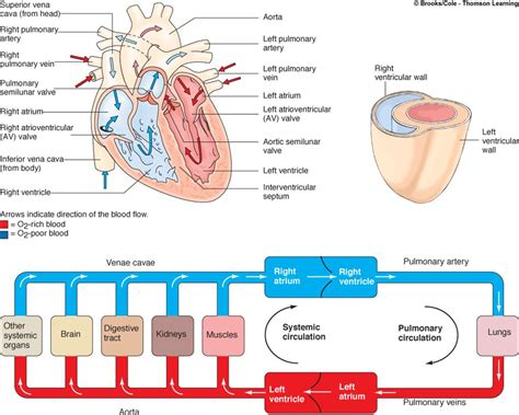 flowchart of blood circulation picture 8