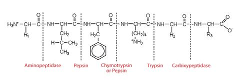 acid hydrolysis of starch picture 6