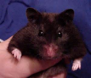 short hair hamsters picture 14
