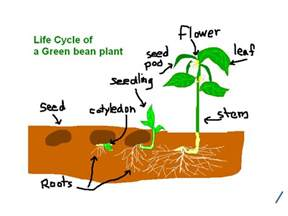 pictures of dandelion growth cycle picture 9