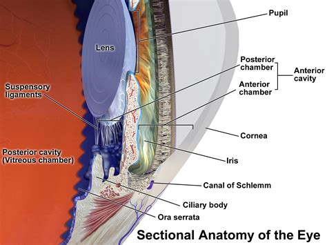 ciliary eye muscle picture 10