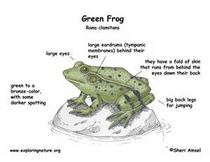 frog digestion picture 17