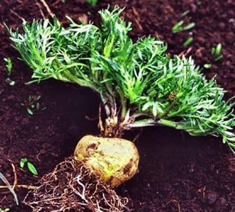 maca root for breast cysts picture 10