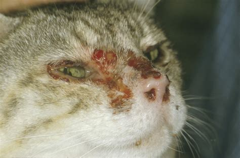 clinical signs of feline herpesvirus fcv picture 4