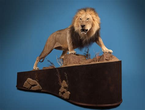 african lion tooth taxidermy picture 19