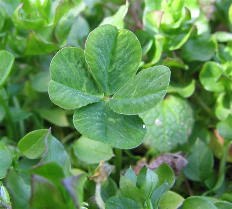 clover picture 13
