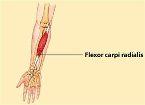 flexor carpi radilis stretches what muscle picture 17