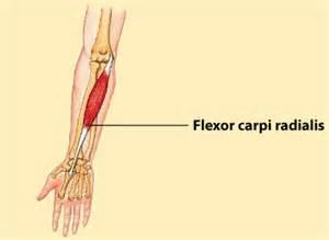 flex carpi radialis muscle picture 6