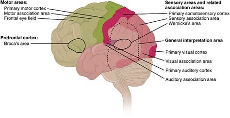 cerebral blood flow motor cortex picture 15