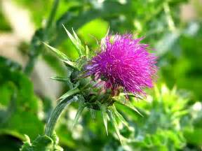Milk Thistle Seed Extract picture 2