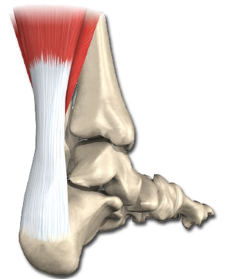 calf muscle exercise picture 1