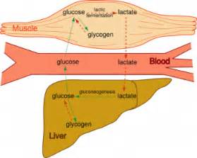 lactic acid yeast for fat loss picture 5