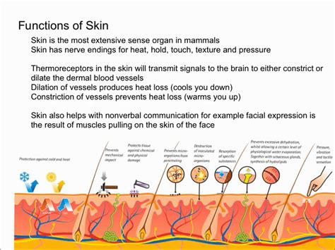 functions of the skin picture 2