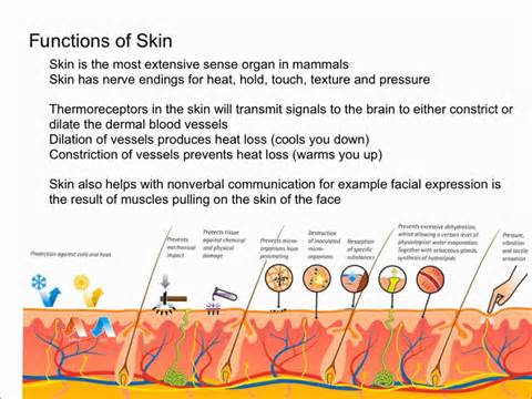 functions of skin picture 1