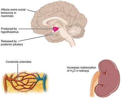 caffeine blood circulation picture 3