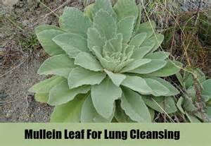 smoking mullein picture 7