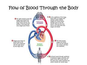 blood flow through the body picture 3